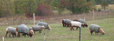 The flock grazing in autumn