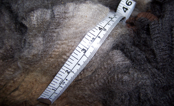 Bella's classic Corriedale fleece
