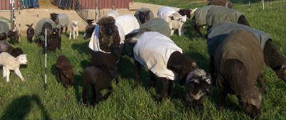 Ewes and lambs' first day on pasture