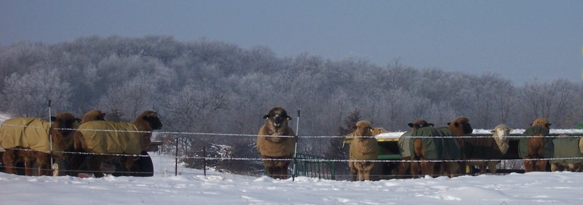 The flock in winter