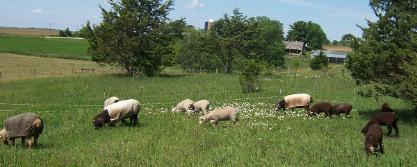 Lambs and ewes grazing on pasture