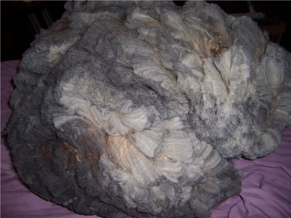 Zilberta's fleece skirted and ready to spin
